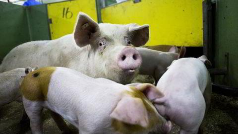EU vil ha slutt på forebyggende bruk av antibiotika til husdyr for å hindre spredning av antibiotikarsistens