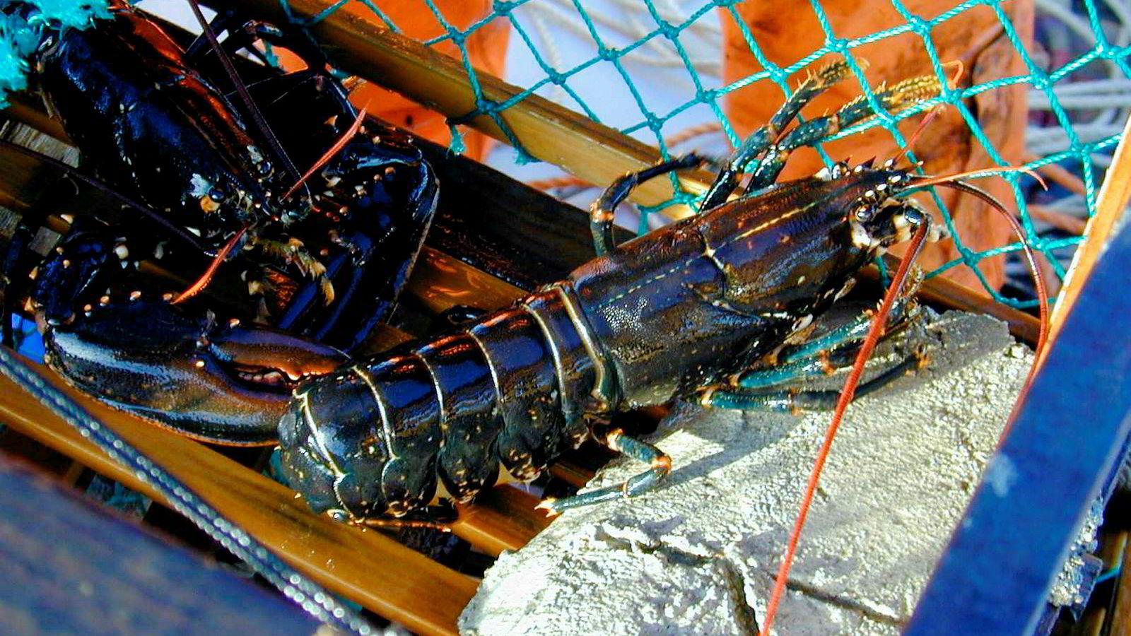 Rundt 30.000 ivrige fiskere starter jakten på hummeren tirsdag 1. oktober.
