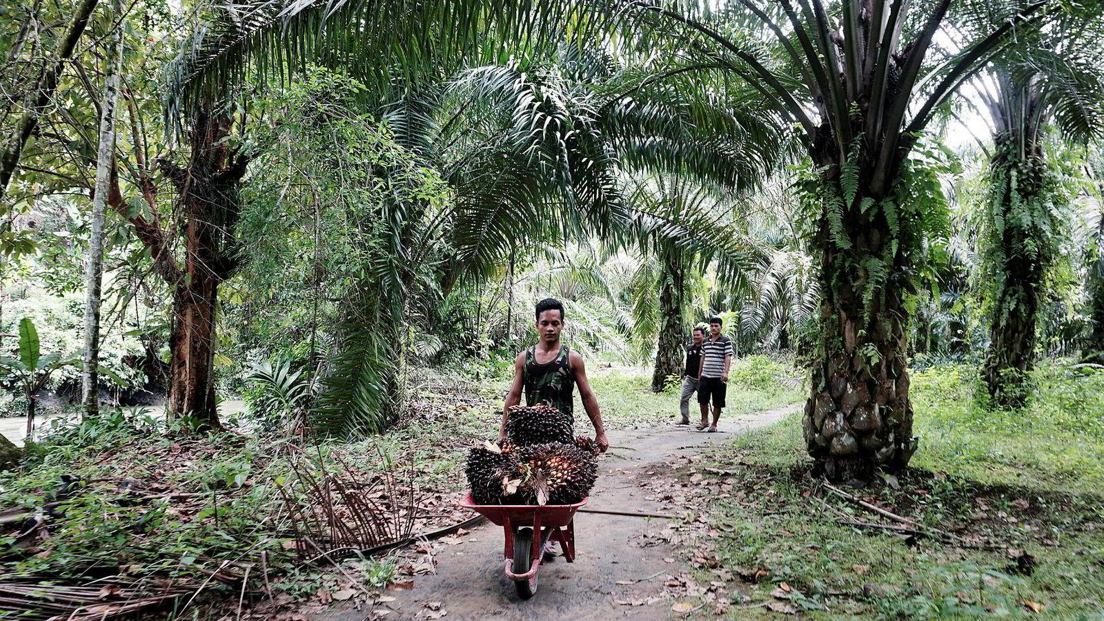 Norge og EU fremmer biodrivstoff som klimatiltak og bidrar til å øke etterspørselen etter palmeolje, som her fra en plantasje nord på Sumatra i Indonesia. Samtidig skades klimaet fordi regnskog kuttes for å gi plass til flere palmeoljeplantasjer.