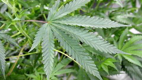 Unge Venstre vil legalisere cannabis. Det har fått politiet til å rykke inn i valgkampen.
