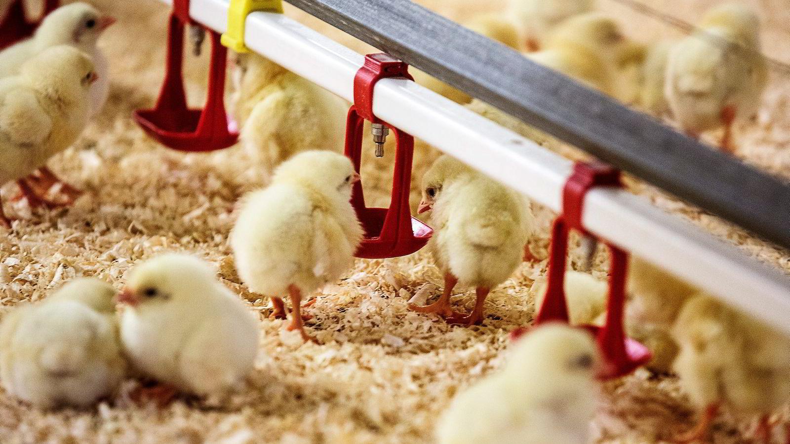 ØKO-PIP. To dager gamle kyllinger tripper rundt i den økologiske Holte gård. Onsdag kommer en rapport om hvorvidt økomat er sunnere enn annen mat og om dyrevelferden er bedre i økoproduksjon.