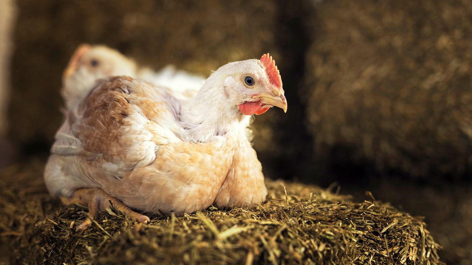 Grønn Ungdom vil avvikle kyllingindustrien.