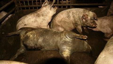 Illustrasjonsfoto: Dokumentar om svineprodusenter ryster både politikere og andre. Bildet har ikke noe med den norske dokumentaren å gjøre, men er fra en svensk gård der Djurrättsalliansen dokumenterte vanskjøtsel.