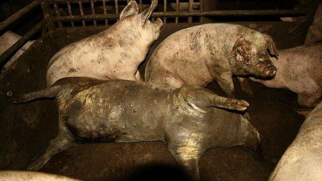 TV-dokumentar om svineprodusenter ryster politikerne