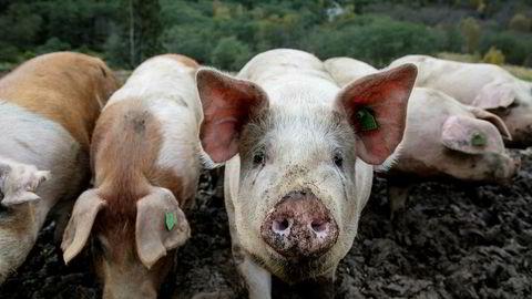 Salget av svinekjøtt var høyere i juli i år sammenlignet med fjorårets julimåned.