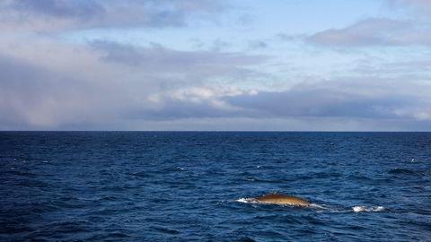 Ny forskning indikerer mye raskere forsuring av havet enn tidligere antatt. På bildet er en finnhval oppe og trekker frisk luft i Polhavet sydøst for Svalbard. Foto:  Håkon Mosvold Larsen /