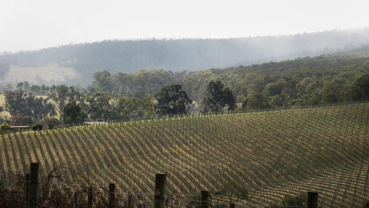 Druene til Luke Lamberts viner kommer fra marker høyt plassert i Yarra Valleys kjøligste soner.