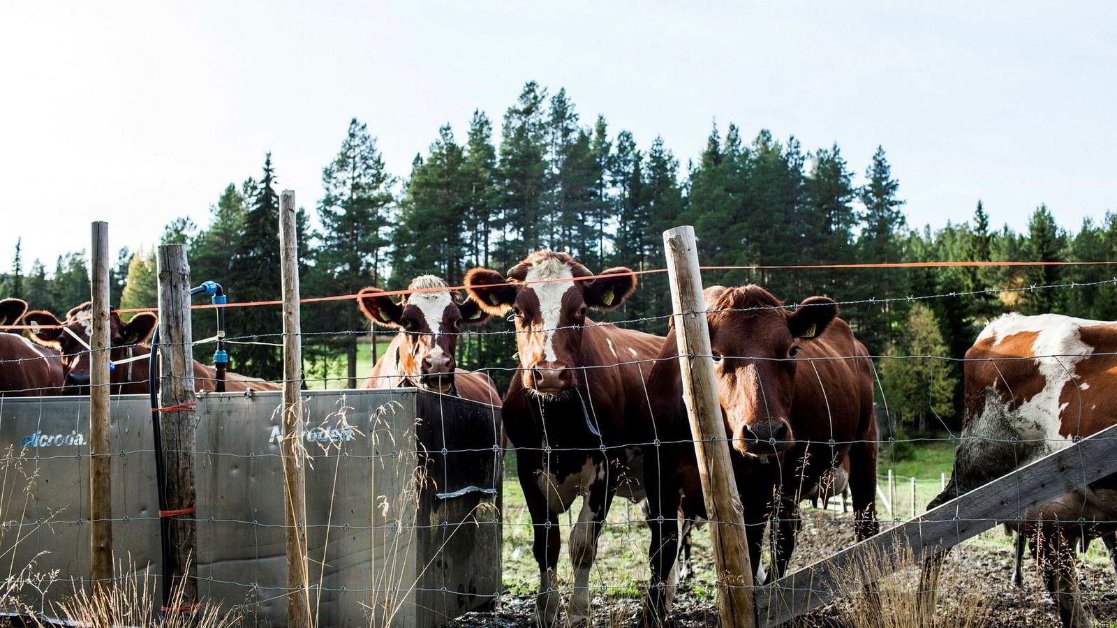 Det blir behov for færre slike melkekuer fra neste år.