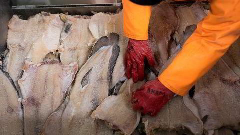 Det ble satt rekord i eksport av klippfisk i 2018. Her sorteres klippfisk på fiskebruket Jangaard Export.