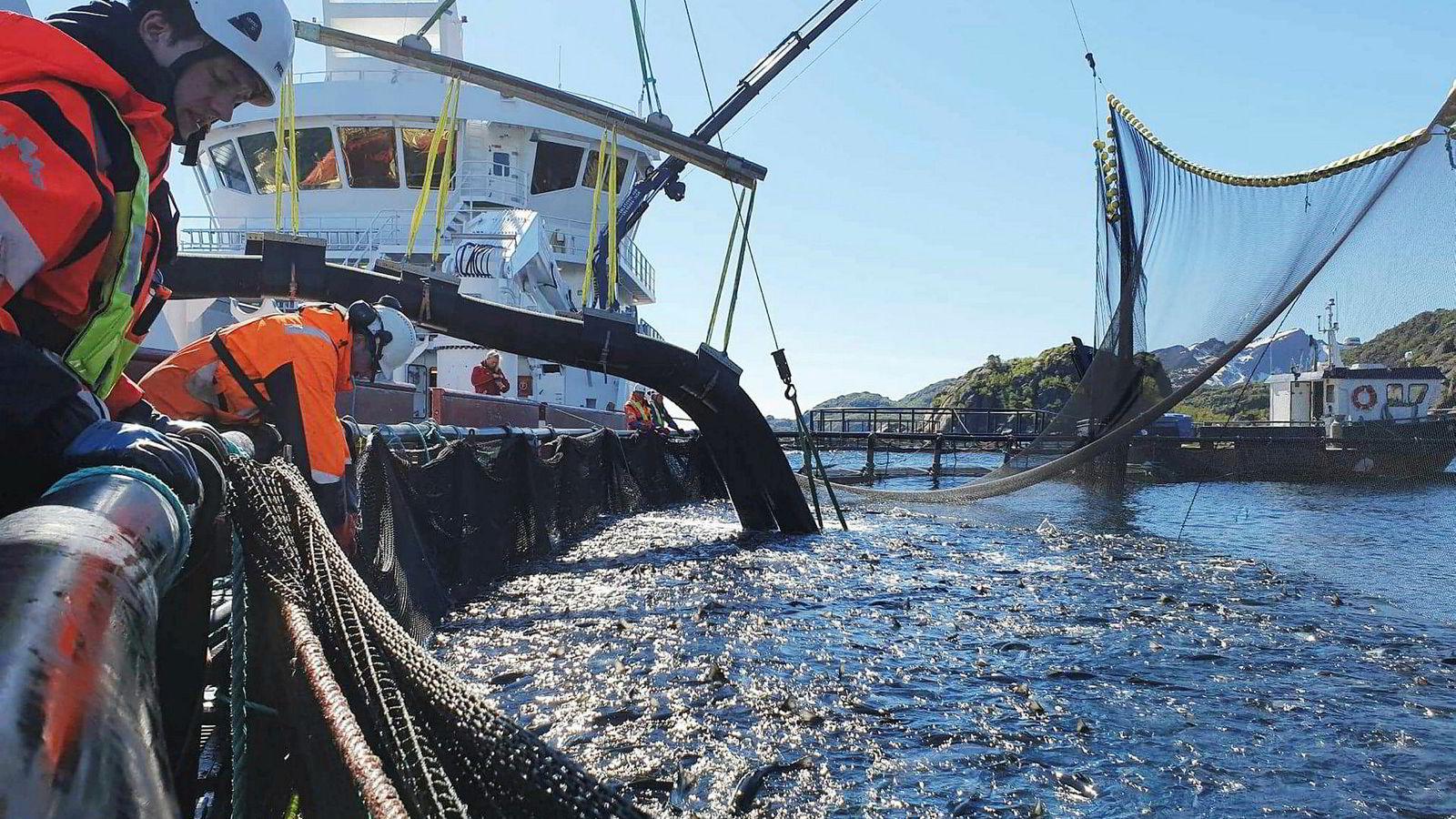 Tekst: Nordlaks startet torsdag å laste 350.000 fisk på anlegget Kalvhodet over på brønnbåt for å unngå alger.