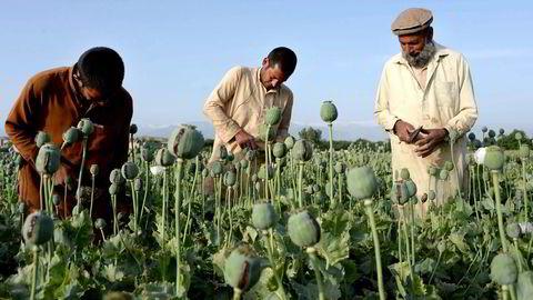 Et større prosjekt har vist at bare én isolert militær trefning med vestlige styrker gir en så stor økning i opiumsproduksjonen at Taliban-lederne får en inntektsøkning på hele 24 millioner kroner, skriver artikkelforfatteren. Foto: Noorullah Shirzada, NTB Scanpix