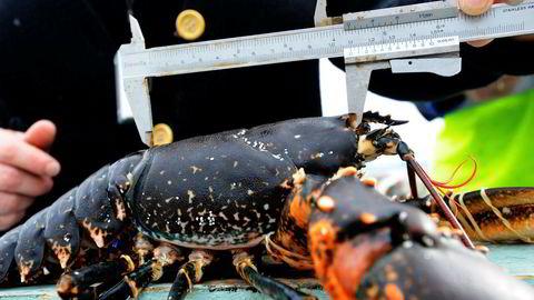 Arkivfoto. Det er mange regler knytttet til hummerfisket i Norge. Foto: Marit Hommedal / SCANPIX