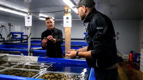 Kristian Lier (til venstre) og Jørund Moseid inspiserer noen av skjellene i mottaket. Skjellene må «spise seg rene» i disse tankene i noen uker før de kan selges.