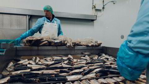 Mer fisk i befolkningens mager er bra for klimaet. Gjerne sild, som her bearbeides i et nederlandsk anlegg