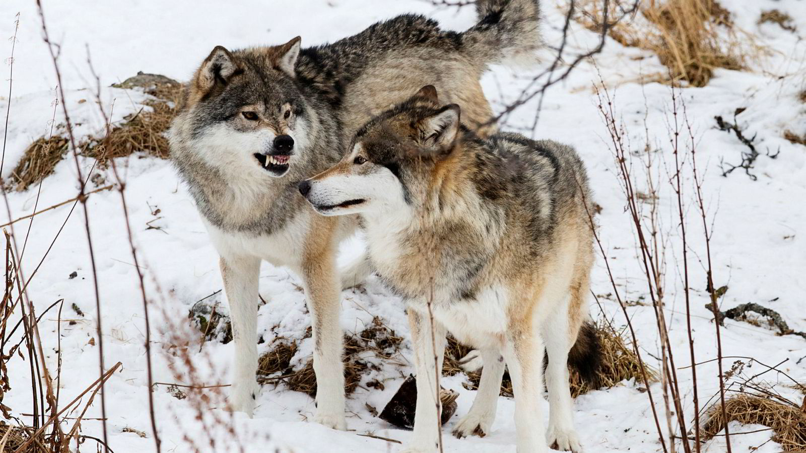Det er svært sjelden at forvaltningsvedtak som gjelder miljøspørsmål bringes inn for rettslig kontroll i Norge, som ved klimasøksmålet og ulvefellingssaken. Her er to hannulver på Langedrag.
