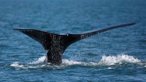 En hval bryter overflaten ved Cape Cod i Plymouth Massachusetts. Sjøpattedyr som hvalen er blant dyreartene som er utrydningstruet.