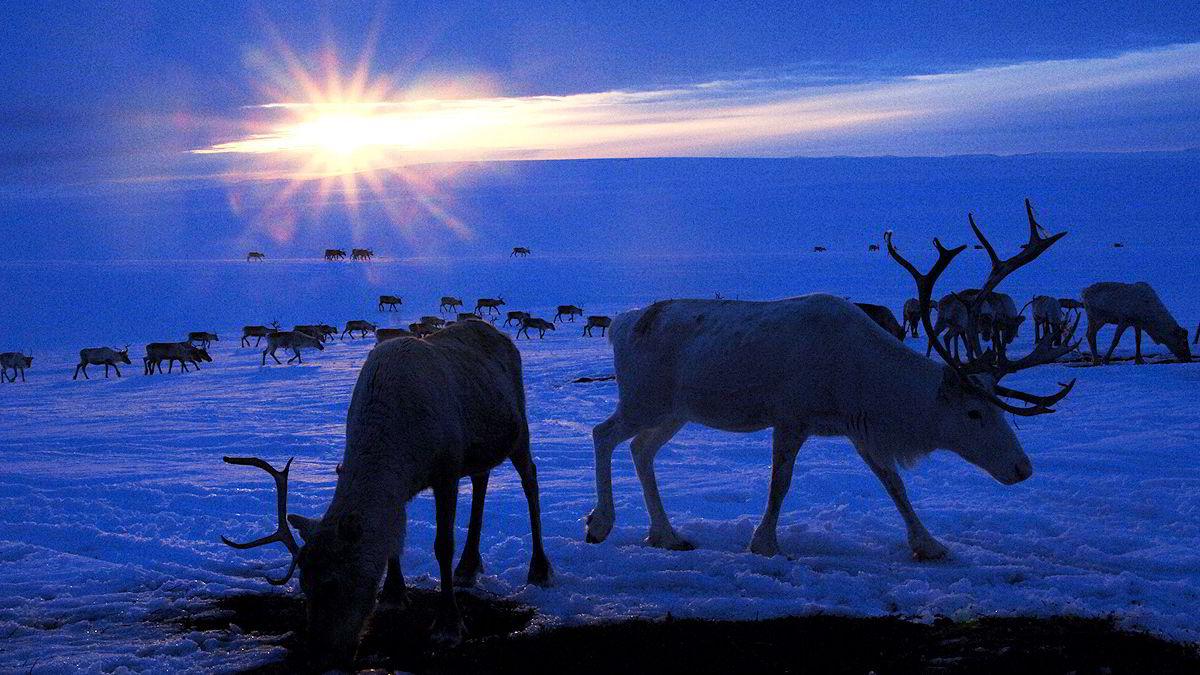 Siden 2005 har norske reineiere fått utbetalt rundt 370 millioner kroner i erstatning av staten etter å ha meldt inn at rein er tatt av rovdyr.