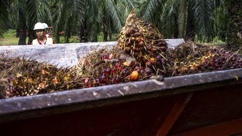 Oljepalmen er trolig mest miljøvennlig, med ti ganger mer energi pr arealenhet enn sine vegetabilske konkurrenter. I tillegg binder selve palmen store mengder CO2. Her fra en palmeoljeplantasje i Malaysia. Foto: Sanjit Das/