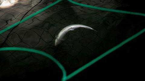 De siste to ukene har vi fulgt en skadelig oppblomstring av algen Chrysochromulina leadbeateri. I merdene til algerammede Mortenlaks i Lødingen ligger død laks med buken opp flytende i vannet.