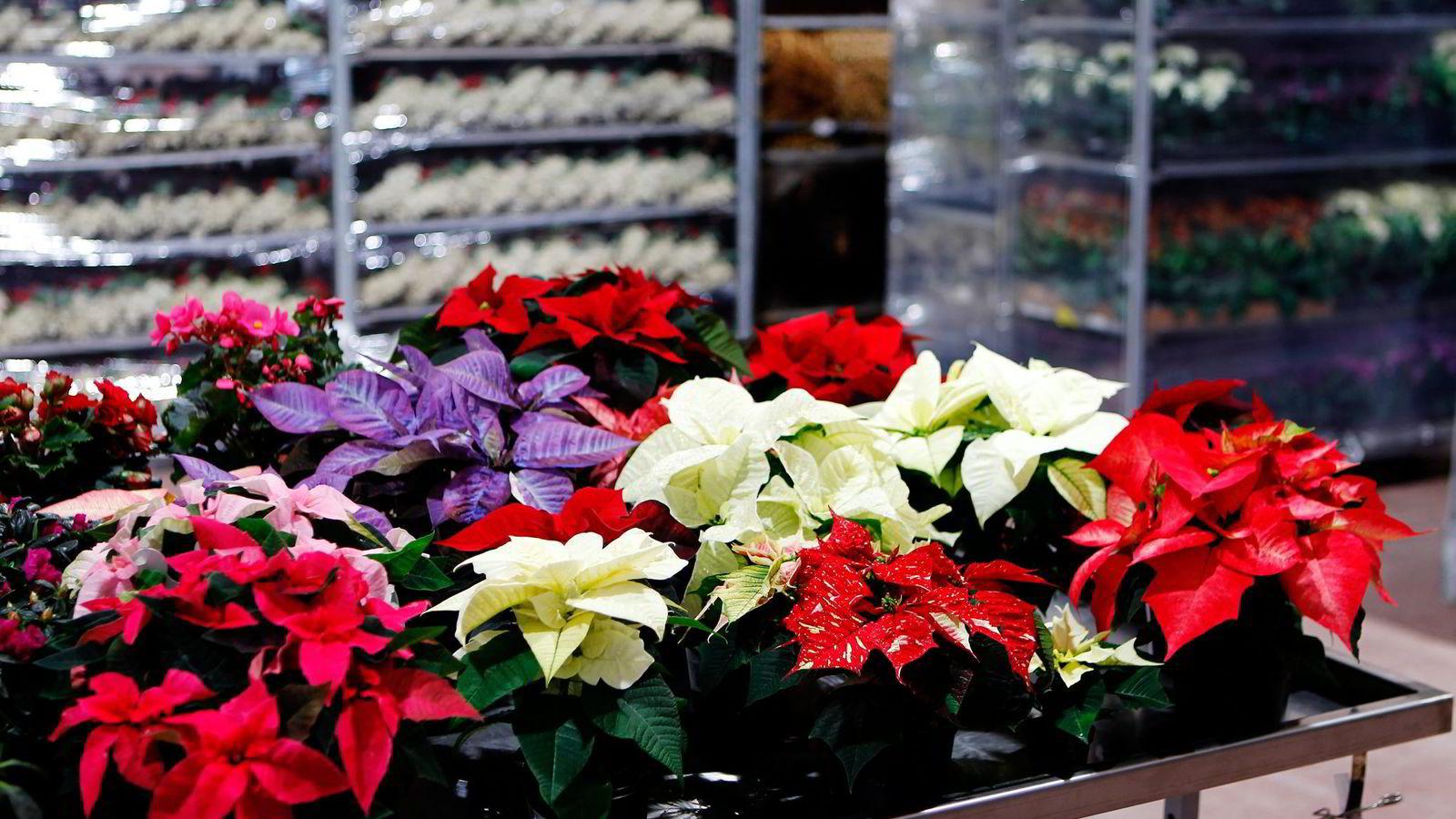 Et av målene med julestjerneforskningen har vært å få planten til å bli kortvokst uten å benytte giftige sprøytemidler. Foto: Cornelius Poppe, NTB/Scanpix