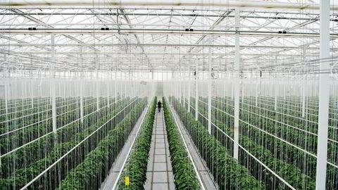 Miljøgartneriet på Jæren får CO2 og spillvarme fra nabobedriften Tine Meierier, og sender returvann tilbake til gjenbruk. Her vokser tomater i varmt og fuktig klima.