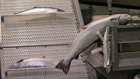 SV vil ekstra skatt på oppdrettslaks. Bildet er fra Flakstadvåg Laks der sløyingen skjer maskinelt før transportbåndet fører laksen videre til sortering og pakking. Foto: Terje Bendiksby / NTB scanpix