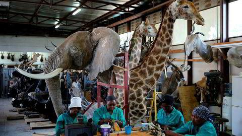 Den utskjelte troféjakten ser ut til å være et nyttig verktøy for å bevare både dyr og naturmangfold, samtidig som det skaper et inntektsgrunnlag for lokalbefolkningen.