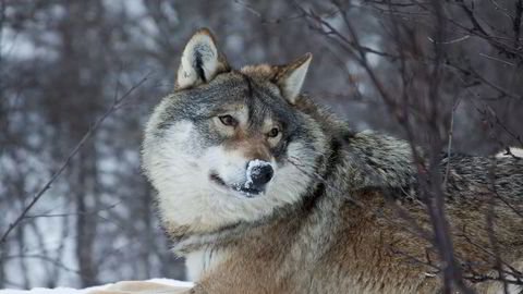 Nordmenn er blitt mer positive til de store rovdyrene, inkludert ulv. Foto: Inger E. Berg