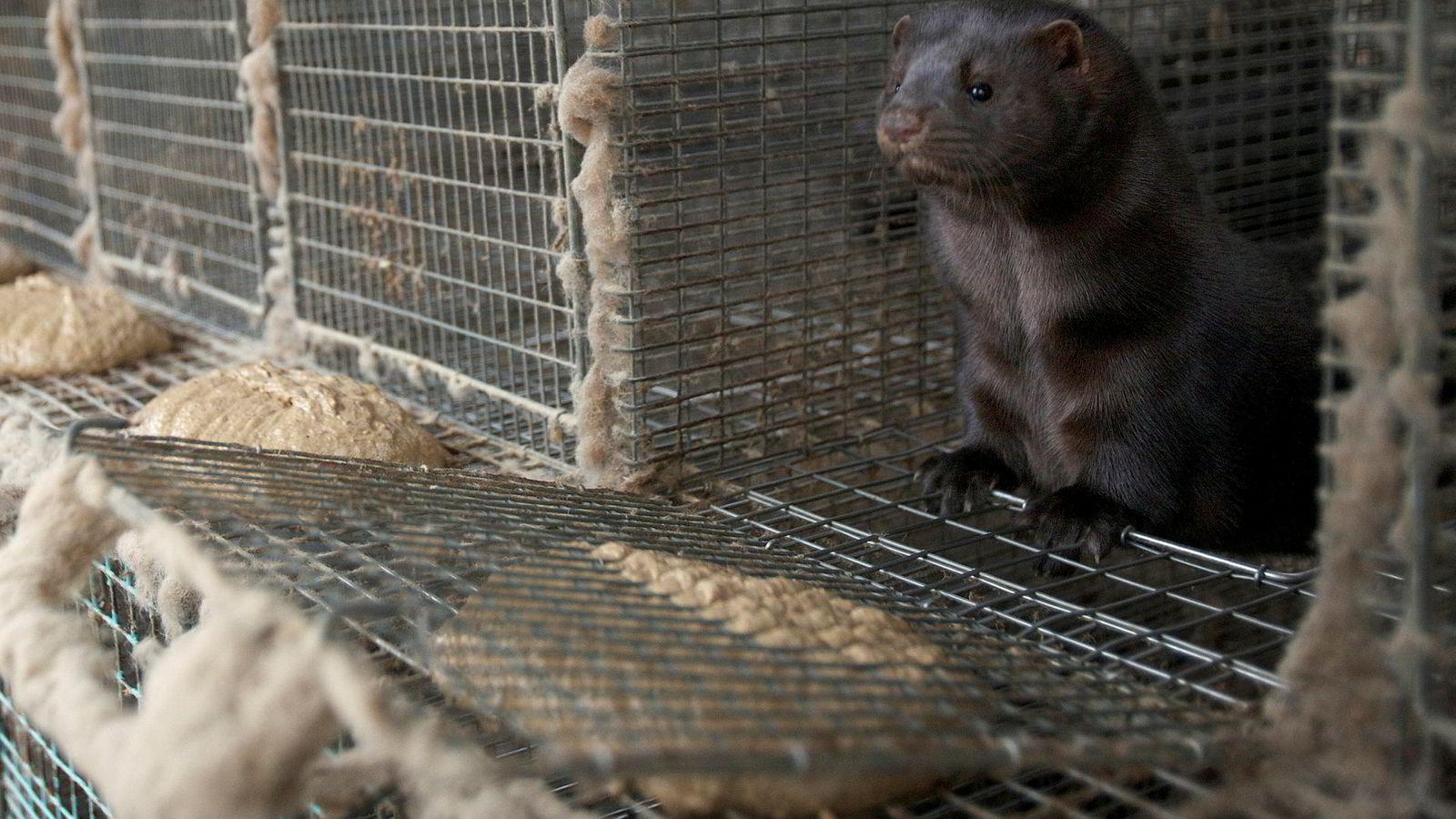 Venstre har fått gjennomslag for å legge ned den norske pelsdyrnæringen.