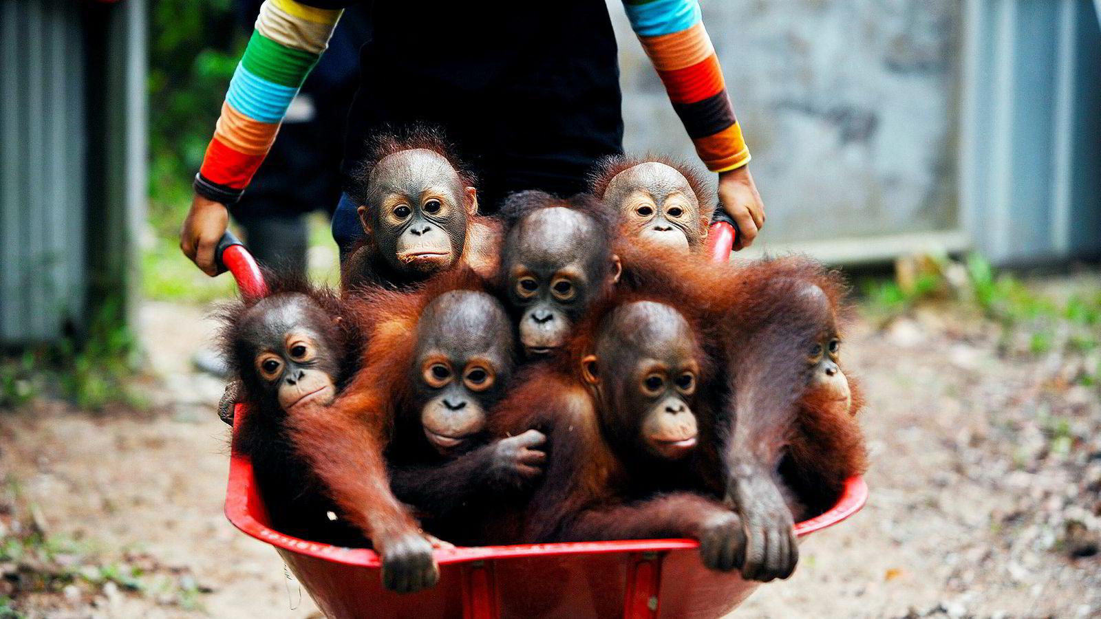 Orangutanger er noen av kjendisene på listen over rundt én million utryddelsestruede arter på kloden. Hugst av regnskog for å gi plass til palmeoljeplantasjer er en av truslene mot apen.