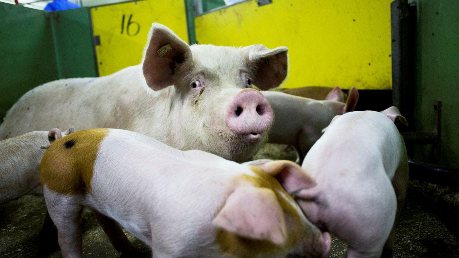 Det er overproduksjon av gris i Norge, men grisene bør visst likevel ikke være på tilbud når folk skal handle til jul.