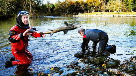Rømt oppdrettslaks kan være en stor utfordring om den svømmer opp i elvene og gyter sammen med villaksen. Her utfisking av rømt oppdrettslaks i Etne i 2010.