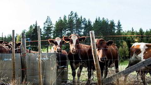 «Det er på tide å sørge for et kontrollsystem som gjør at avkastning på bondens investering i foredling ikke blåser opp den rene råvareprisen som samvirkets konkurrenter må betale», skriver innleggsforfatterne. Bildet er fra Solmo gård på Telneset ved Tynset.