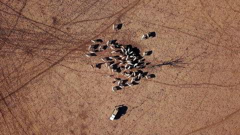 Bonden May McKeown forer sine siste gjenlevende kyr. Det er kritisk tørke i New South Wales, som er Australias mest folkerike delstat og en stor landbruksprodusent.
