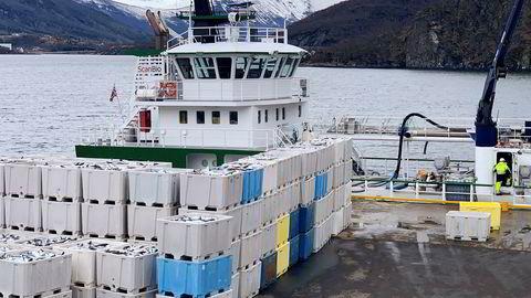 Lakseoppdrettsselskapene får bare deler av tapene sin dekket etter at dødelige alger har tatt livet av flere hundre tusen laks. Tonnevis av død laks står på kaia hos Northern Lights Salmon i Balteskard i Sør-Troms.