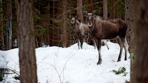 Parallellen her hjemme er at sauebøndene får kompensasjon for tap av beitedyr til ulv. Og det er jeg for. Men det er ikke en parallell til at grunneierne skal ha kompensasjon for tapt elgjakt som følge av ulven, mener forfatteren.