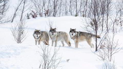Ulv, både i flokk og som streifende par, kan ta opp mot 140 elg per år. Det er derfor god grunn til å anta at ulven er en medvirkende årsak til reduksjonen i elgbestanden, skriver artikkelforfatteren. Foto: Istock