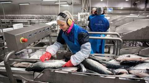 Norske oppdretter slakter mer fisk enn europeiske kunder i feriemodus klarer å ta unna. Dermed faller prisene. Illustrasjonsfoto er fra Mowis anlegg på Eggesbønes.