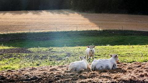 Den norske maten er allerede blant verdens tryggeste. Mye på grunn av husdyr som er friske og trenger lite medisin. Foto: Gunnar Lier