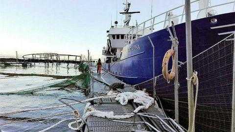 Etterspillet etter en stor rømningsulykke ved Marine Harvests oppdrettsanlegg utenfor Isla Huar i Sør-Chile skaper splid. Bildet skal være fra opprydningsarbeidet etter uværet i juli som skadet anlegget.