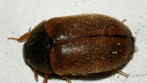 Finansklagenemnda konkluderte med at funnet av en slik bille medførte et verditap på en lelighet på St. Hanshaugen i Oslo. Kjøperen av leiligheten ble tilkjent 400.000 i erstatning.