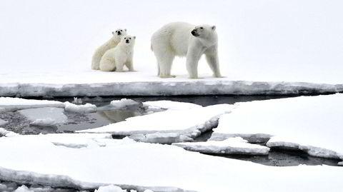 Tre bøker om isbjørner og issmelting ble utgitt i samme uke i månedsskiftet. Trolig har disse bjørnene på bildet fra 2017 nå mindre is i Arktis å boltre seg på.