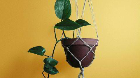 Fleksibel. Gullranken trives der mange andre grønne planter ville ha kastet inn håndkleet.