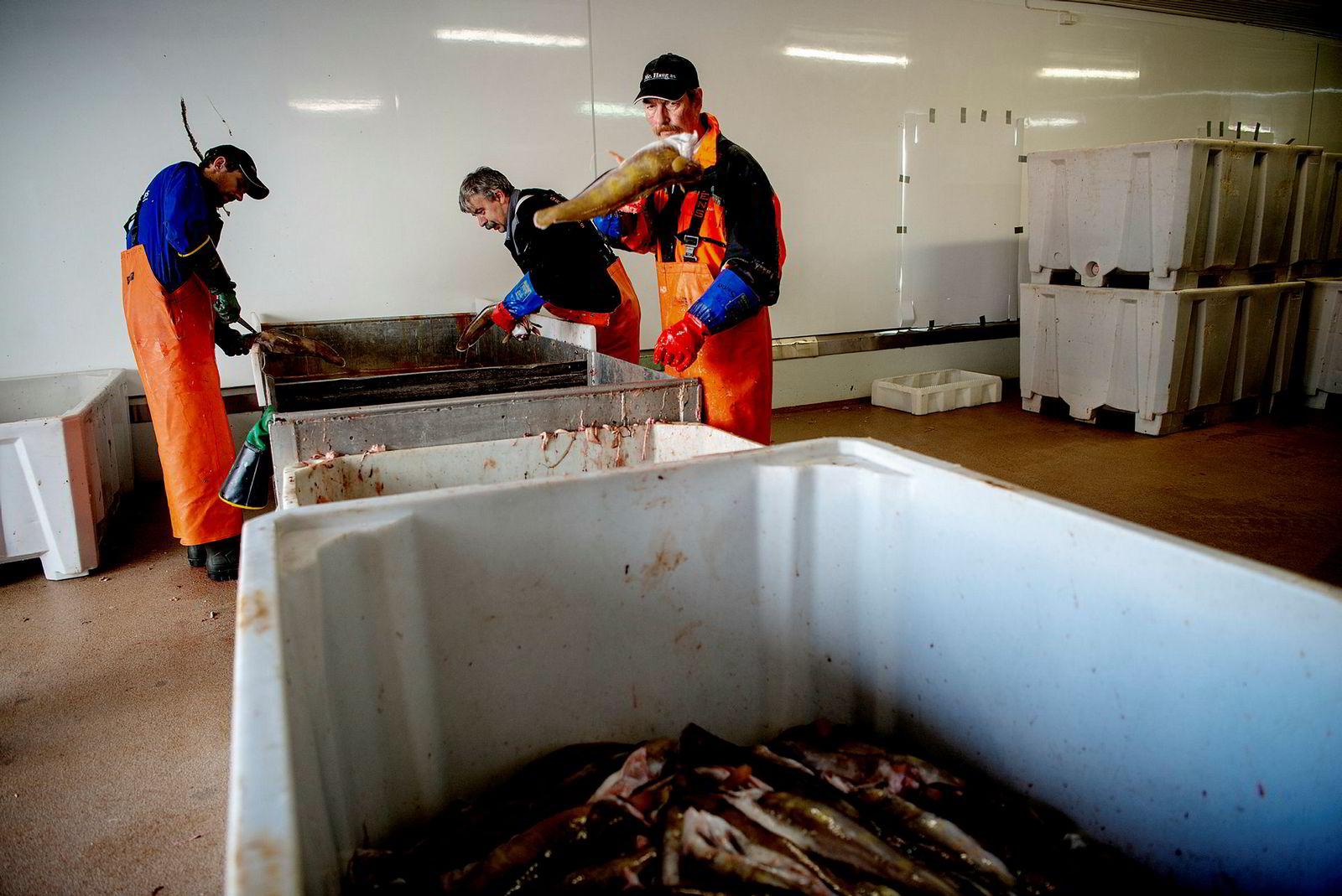 Sløyegjengen Svein Arctander, Stig Werner Bolle og Lars Eriksen sløyer og sorterer torsk ved sløyebenken på fiskebruket Nic. Haug på Ballstad i Lofoten.