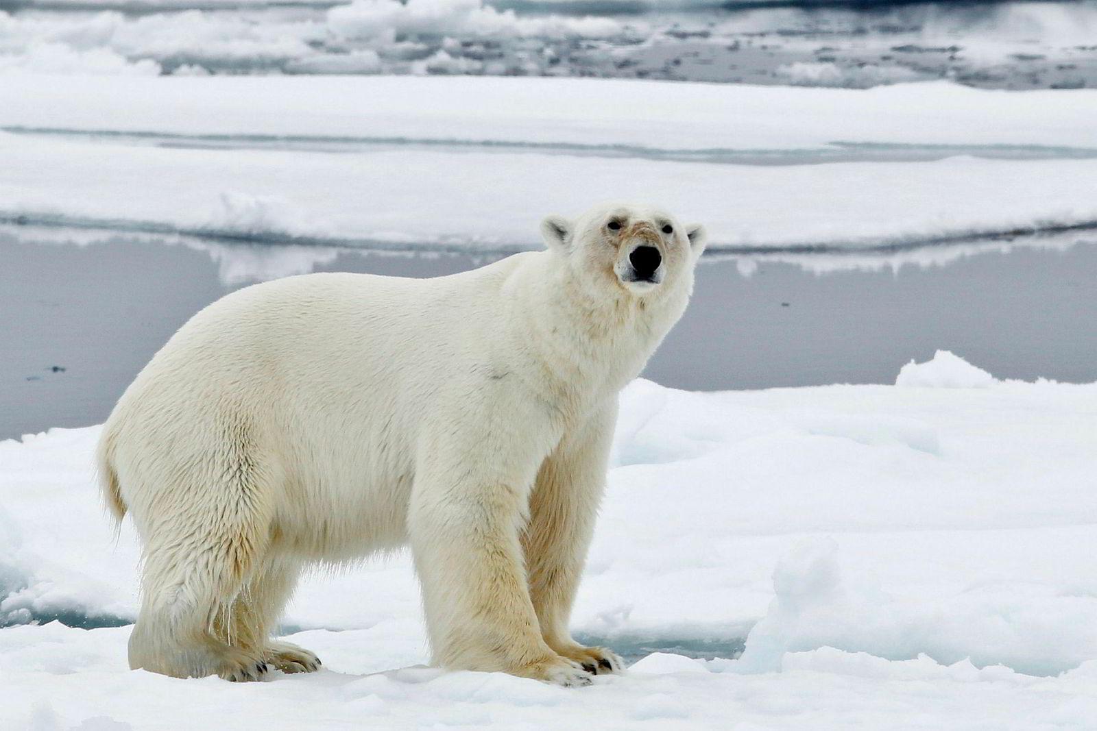 Paret som reiste med Hurtigruten fikk hverken, se denne eller noen av de rundt 3000 andre isbjørnene som det antas befinner seg på Svalbard og i isområdene rundt.