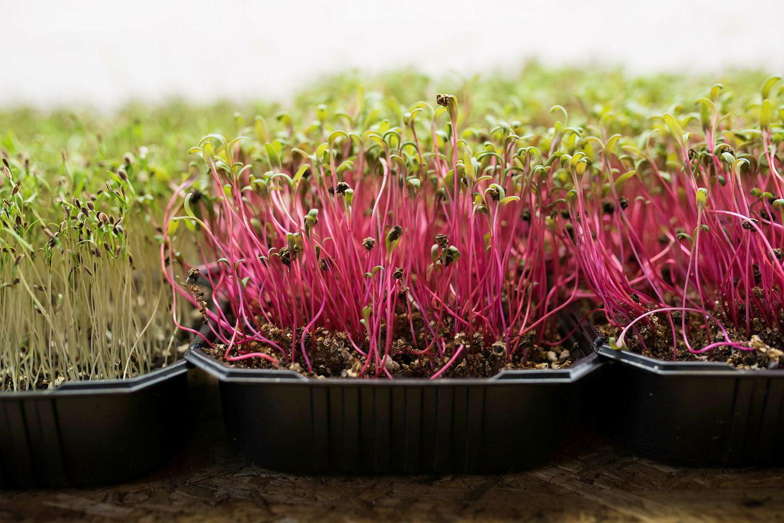 Slike spirer, såkalt mikrogrønt, leveres allerede i stort omfang fra bedriften Smågrønt til restauranter i stavangerområdet.