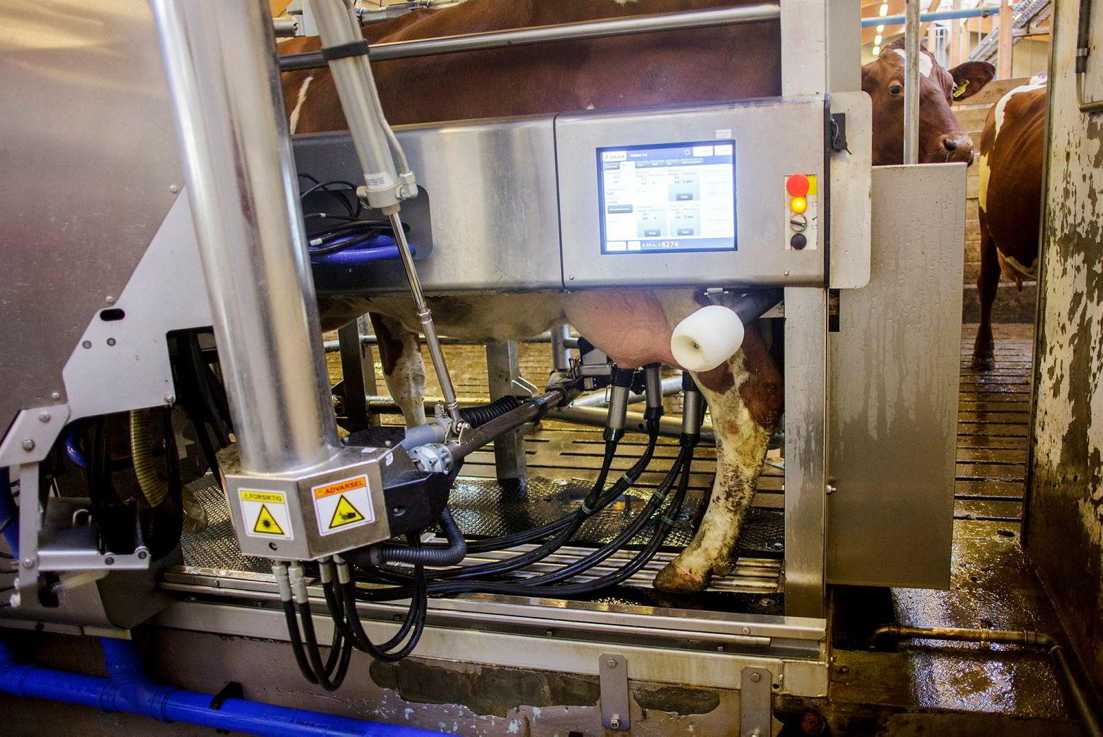 Her har en ku selv gått inn i melkeroboten for å bli melket. Strømmen fra hver spene registreres og vises på skjermen. Slike roboter er blitt veldig populære.