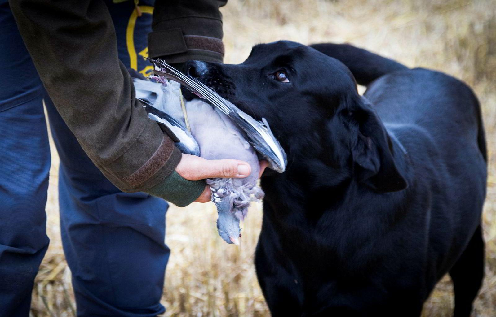 Jaktlabradoren Fenrik avleverer en av de felte duene etter å ha apportert.