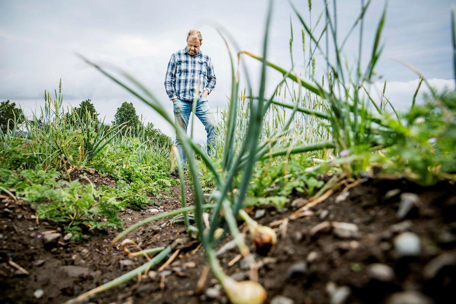 Grønnsaksbonde Odd Gjestvang regner med et tap på 2,5-3 millioner på løkavlingen. Løken tåler normalt ikke temperaturer over 27 grader.