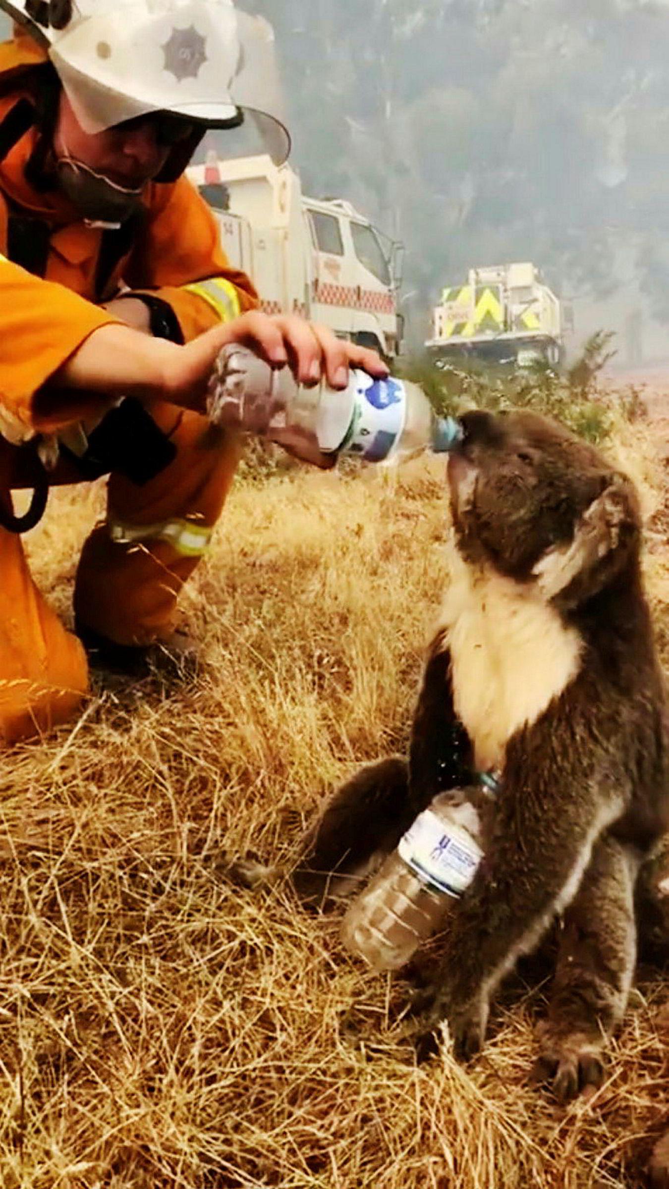 En koalabjørn får vann av en brannmann etter å ha blitt reddet fra flammene i Cudlee Creek sør i Australia.